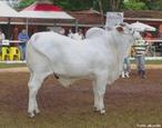 Nelore é uma raça de gado bovino (Zebu) originária da Índia. Os primeiros exemplares da raça chegaram ao Brasil no final do século XVIII e rapidamente se tornaram a raça de gado predominante no rebanho brasileiro (85% do rebanho total).  </br></br>  Palavras-chave: Dimensão econômica do espaço geográfico. Território. Lugar. País. Pecuária. Gado bovino. Leite. Carne. Exportação.