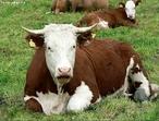 O gado bovino é composto por bois - termo que, em sentido amplo, dá nome ao animal mamífero, ruminante, artiodáctilo, com par de chifres não ramificados, ocos e permanentes, do gênero Bos em que se incluem as espécies domesticadas pelo homem..  </br></br>  Palavras-chave: Dimensão econômica do espaço geográfico. Território. Lugar. País. Pecuária. Gado bovino. Leite. Carne. Exportação.