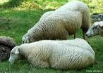 A ovelha (Ovis aries) que pode ser chamado no masculino por carneiro e quando pequeno como cordeiro, anho ou borrego, é um mamífero ruminante bovídeo da sub-família Caprinae, que também inclui a cabra.  </br></br>  Palavras-chave: Dimensão socioambiental. Dimensão demográfica. Território. Região. Lugar. Países. Animal. Economia. Valor econômico. Carne. Laticínios. Lã. Couro. Pecuária. Sociedade.