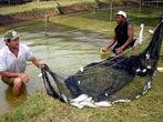 A piscicultura tem aumento no Brasil, nas áreas litorâneas e em pequenas propriedades (sítios, chácaras).  </br></br>  Palavras-chave: dimensão socioambiental. Dimensão econômica da produção do e no espaço. Lugar. Território. Região. Peixes. Piscicultura. Sociedade. Litoral.