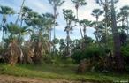 É uma árvore da família Arecaceae endêmica no semi-árido do nordeste brasileiro, árvore símbolo dos Estados do Piauí e Ceará.  </br></br>  Palavras-chave: Carnaúba. Árvore da vida. Nordeste. Extração.