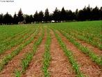 O plantio direto é o processo de semeadura, sem preparação de solo, que mantém a palha da cultura anterior e posiciona a semente e os fertilizantes com menor distúrbio do sulco de semeadura. Esta técnica envolve a compreensão da dinâmica populacional de pragas, patógenos e plantas daninhas; a distribuição uniforme de palha na colheita da cultura anterior; a rotação de culturas e, ainda, o manejo da lavoura como sistema integrado de produção.  </br></br>  Palavras-chave: Plantio direto. Solos. Cultura. sementes. Rotação de culturas. Manejo da lavoura.