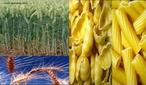 O trigo (Triticum spp.) é uma gramínea que é cultivada em todo mundo. Globalmente, é a segunda maior cultura de cereais, a seguir ao milho; o terceiro é o arroz. O grão de trigo é um alimento básico usado para fazer farinha e, com esta, o pão.  </br></br>  Palavras-chave: Dimensão socioambiental. Dimensão política. Dimensão demográfica. Dimensão econômica. Território. Lugar. Região. País. Mecanização. Agricultura. Plantio. Cereais. Trigo.