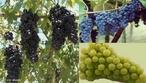 A uva é o fruto da videira (Vitis sp.), uma planta da família das Vitaceae. É utilizada frequentemente para produzir sumo, doce (geléia), vinho e passas, podendo também ser consumida crua.  </br></br> Palavras-chave: Dimensão econômica. Agricultura. Produção. Vinho. Uva. Exportação.