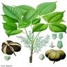 É uma árvore da família das Euphorbiaceae (Hevea brasiliensis) de folhas compostas, com fruto em uma grande cápsula com sementes ricas em óleo, cuja madeira é branca e leve, e de cujo látex se fabrica a borracha.  </br></br>  Palavras-chave: Látex. Borracha. Sementes. Importação. Exportação.