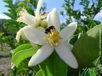 Flor de laranjeira utilizado pelas abelhas para produção de mel.  </br></br> Palavras-chave: Dimensão econômica do espaço geográfico. Dimensão socioambiental. Agricultura. Laranja. Produção agrícola. Produção de mel. Apicultura. Produção. Região. Flor de laranjeira. Agrotóxicos. Importação. Exportação.