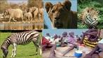 África, o continente dos contrastes sócio-ambientais, a rica savana, animais de grande porte de um lado, que atraem milhares de pessoas em passeios de ecoturismo e, de outro, a população marginalizada e excluída, faminta e miserável. Os maiores animais são os elefantes, herbívoros, se alimentam de ervas, gramíneas, frutas e folhas. Dado o seu tamanho, um elefante adulto pode ingerir entre 70 a 150 kg de alimento por dia.  </br></br>  Palavras-chave: Dimensão socioambiental do espaço geográfico. Dimensão econômica. Ecossistema. Savana. Elefantes. África. Fauna. Fome. Miséria. Má-distribuição de renda. Sociedade. População.