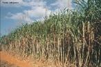"""A cana-de-açúcar é uma planta que pertence ao gênero Saccharum. Há pelo menos seis espécies do gênero, sendo a cana-de-açúcar cultivada um híbrido multiespecifico, recebendo a designação """"Saccharum spp."""". As espécies de cana-de-açúcar são provenientes do Sudeste Asiático. A planta é a principal matéria-prima para a fabricação do açúcar e álcool (etanol).  </br></br>  Palavras-chave: dimensão socioambiental. Dimensão econômica. Dimensão demográfica e cultural do espaço geográfico. Território. Lugar. Região. Agricultura. Canavial. Etanol. Cana-de-açúcar."""