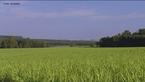 """A cana-de-açúcar é uma planta que pertence ao gênero Saccharum. Há pelo menos seis espécies do gênero, sendo a cana-de-açúcar cultivada um híbrido multiespecifico, recebendo a designação """"Saccharum spp."""". As espécies de cana-de-açúcar são provenientes do Sudeste Asiático. A planta é a principal matéria-prima para a fabricação do açúcar e álcool (etanol).  </br></br>  Palavras-chave: dimensão socioambiental. Dimensão econômica. Dimensão demográfica e cultural do espaço geográfico. Território. Lugar. Região. Cana-de-açúcar. Canavial. Etanol. Biodiesel."""