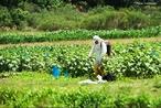 Pequeno, médio ou grande produtor/agricultor que trabalha ou produz em propriedades rurais, espécies de origem vegetal como as hortaliças e legumes, frutas das mais variadas espécies como laranja, limão, banana, abacaxi, etc.  </br></br>  Palavras-chave: Agricultura. Agrotóxicos. Economia. Lugar. Território. Hortifrutigranjeiro. Dimensão socioambiental. Lugar. Região. Dimensão econômica da produção do e no espaço. Sociedade. Lugar. Importação. Exportação.
