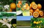 A laranja é o fruto produzido pela laranjeira (Citrus x sinensis), uma árvore da família Rutaceae. A laranja é um fruto híbrido, criado na antiguidade a partir do cruzamento do pomelo com a tangerina.  </br></br> Palavras-chave: Dimensão econômica do espaço geográfico. Dimensão socioambiental. Agricultura. Laranja. Produção agrícola. Produção de mel. Apicultura. Produção. Região. Flor de laranjeira. Agrotóxicos. Importação. Exportação.