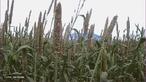 O milhete(o) (de milho + -ete) ou milho-painço é o nome dado a várias espécies cerealíferas produzidas um pouco por todo o mundo para alimentação humana e animal.  </br></br>  Palavras-chave: Dimensão socioambiental. Dimensão econômica. Dimensão demográfica e cultural do espaço geográfico. Território. Lugar. Região. Agricultura. Milheto. Ração animal. Alimentação.