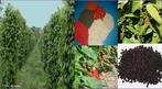 A pimenta-preta, também conhecida como pimenta-redonda e, no Brasil, como pimenta do Reino, é uma das mais antigas especiarias conhecidas.  </br></br>  Palavras-chave: Dimensão econômica. Lugar. Países. Exportação. Especiarias. Pimenta-do-reino.