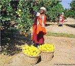 Nelspruit é o centro comercial para a área de cultivo de frutas, em torno de Mpumalanga. Os solos férteis e o clima subtropical fornecem as condições perfeitas para a produção de citros e frutas tropicais, principalmente manga, banana, abacate, macadâmia e nozes pecan. </br></br> Palavras-chave: África do Sul. Nelspruit. Frutas. Agricultura.