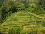 Nativo de regiões subtropicais com clima de monções, o chá também é cultivado em climas tropicais, obtendo maior sucesso em regiões de alta altitude.  </br></br>  Palavras-chave: Chá.  Agricultura. Regiões subtropicais. Clima de monções.