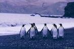 Pinguim é uma ave (família <em>Spheniscidae</em>) não voadora, característica do hemisfério Sul. Apesar da maior diversidade de pinguins se encontrar na Antártida e regiões polares, há também espécies que vivem nos trópicos como por exemplo nas Ilhas Galápagos. A morfologia dos pinguins reflete várias adaptações à vida no meio aquático: o corpo é fusiforme; as asas atrofiadas desempenham a função de barbatanas e as penas são impermeabilizadas através da secreção de óleos. Os pinguins alimentam-se de pequenos peixes, krill e outras formas de vida marinha.  </br></br>  Palavras-chave: Pinguim. Aves. Antártida. Gelo. Neve.