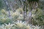 São quase exclusivamente originárias das Américas, principalmente das florestas tropicais, com apenas um gênero originário da costa da África Ocidental, no Golfo da Guiné. São aproximadamente 1.400 espécies em 57 gêneros.  </br></br>  Palavras-chave: Ecologia. Meio Ambiente. Biodiversidade. Flora. Florestas. Mata Atlântica. Bromélia. Ecossistema. Bioma.
