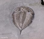 Os Trilobitas s�o artr�podes pr�-hist�ricos caracter�sticos do Paleoz�ico, conhecidos apenas do registo f�ssil. O grupo, classificado na classe Trilobita da sub-classe Trilobitomorpha, � exclusivo de ambientes marinhos. </br></br> Palavras-chave: Trilobitas. Artr�podes Pr�- Hist�ricos. Paleoz�ico. Eras Geol�gicas.
