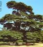 As florestas de cedro do L�bano s�o as mais antigas florestas da hist�ria documentada. Os cedros foram suficientemente importantes na hist�ria do homem para estarem presentes nos mais antigos registros humanos, como o dos Sum�rios do terceiro mil�nio a.C. O Cedro do L�bano � mencionado mais de 70 vezes na B�blia. Tem sido o s�mbolo nacional do L�bano. H� 18 reservas de cedros do L�bano, principalmente, a floresta Barouk e a floresta dos cedros de Deus em Bsharri. </br></br> Palavras-chave: Florestas. Sum�rios. L�bano. B�blia. Homem. Vegeta��o.