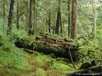 A Floresta Temperada é um bioma encontrado nas regiões entre os polos e trópicos da Terra de clima temperado, especialmente no leste da América do Norte, Europa, leste da Ásia, sul da Austrália e Chile. Os índices pluviométricos são, em média, de 75 a 100 cm por ano e o solo das florestas temperadas são bastante ricos em nutrientes. Nesse bioma, as quatro estações são bem definidas. Ao longo do ano, a temperatura média é amena, sendo que no verão o calor e a umidade se elevam bastante. Existem dois tipos de florestas temperadas. O aspecto que as diferencia é a ocorrência ou não da queda das folhas no inverno. </br></br> Palavras-chave: Floresta Temperada. Biomas. Clima Temperado. Chuvas. Regiões. Vegetação.