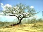 A Caatinga apresenta tr�s estratos: arb�reo, arbustivo e o herb�ceo. A vegeta��o adaptou-se ao clima seco para se proteger. As folhas, por exemplo, s�o finas ou inexistentes. Algumas plantas armazenam �gua, como os cactos, outras se caracterizam por terem ra�zes praticamente na superf�cie do solo para absorver o m�ximo da chuva. </br></br> Palavras-chave: Caatinga. Vegeta��o. Clima. Brasil. Semi�rido.