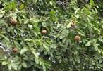 A castanheira � encontrada em toda a Regi�o Amaz�nica. � muito �til no reflorestamento de �reas degradadas, e seus frutos e madeira podem ser largamente aproveitados. </br></br> Palavras-chave: Castanha do Par�. Castanheira. Regi�o Amaz�nica. Biodiversidade. Vegeta��o.