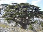 As florestas de Cedro do Líbano são as mais antigas florestas da história documentada. Os cedros foram suficientemente importantes na história do homem para estarem presentes nos mais antigos registros humanos, como o dos Sumérios do terceiro milénio a.C. O Cedro do Líbano é mencionado mais de 70 vezes na Bíblia. Tem sido o símbolo nacional do Líbano. Há 18 reservas de cedros do Líbano, principalmente, a floresta Barouk e a floresta dos cedros de Deus em Bsharri. </br></br> Palavras-chave: Florestas. Sumérios. Líbano. Bíblia. Homem. Vegetação. Clima.