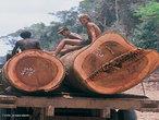 O desmatamento, também chamado de desflorestamento, nas florestas brasileiras, começou no instante da chegada dos portugueses ao nosso país, no ano de 1500. Interessados no lucro com a venda do pau-brasil na Europa, os portugueses iniciaram a exploração da Mata Atlântica. As caravelas portuguesas partiam do litoral brasileiro carregadas de toras de pau-brasil para serem vendidas no mercado europeu. Enquanto a madeira era utilizada para a confecção de móveis e instrumentos musicais, a seiva avermelhada do pau-brasil era usada para tingir tecidos. Desde então, o desmatamento em nosso país foi uma constante. Depois da Mata Atlântica, foi a vez da Floresta Amazônica sofrer as consequências da derrubada ilegal de árvores. </br></br> Palavras-chave: Florestas. Mata Atlântica. Exploração. Desflorestamento. Desertificação.