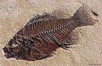 O termo fóssil descreve uma ampla gama de artefatos naturais. De uma forma geral, o fóssil é uma evidência de vida vegetal ou animal que foi preservada no material da crosta da Terra. Na maioria dos casos, o processo de fossilização começa quando a planta ou animal morre e é rapidamente coberto, geralmente por sedimentos, no fundo de um curso d'água. Os sedimentos soltos protegem os restos mortais contra as intempéries, bactérias e demais fatores de desgaste e deterioração. Isso retarda o processo de decaimento e assim, alguns dos remanescentes (em muitos casos apenas materiais duros, como ossos ou cascas), são preservados por milhares de anos. Durante esse tempo as camadas de sedimento continuam a se formar sobre o osso. Com o passar do tempo, as camadas formadas tornam-se duras, transformam-se em rocha sólida. </br></br> Palavras-chave: Fóssil. Fossilização. Geologia.