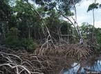 Os mangues ou manguezais são considerados ecossistemas costeiros, eles aparecem nas regiões tropicais e subtropicais. No Brasil, os mangues são protegidos por legislação federal, devido à importância que representam para o ambiente marinho. São fundamentais para a procriação e o crescimento dos filhotes de vários animais, como rota migratória de aves e alimentação de peixes. Além disso, colaboram para o enriquecimento das águas marinhas com sais nutrientes e matéria orgânica. </br></br>Palavras-chave: Ecossistemas. Vegetação. Água. Brasil. Bioma.