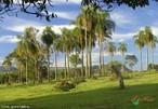 Palmeira � o nome comum da <em>Arecaceae</em>, anteriormente conhecida como <em>Palmae</em> ou <em>Palmaceae</em>, a �nica fam�lia bot�nica da ordem <em>Arecales</em>. Pertencem a esta fam�lia plantas muito conhecidas, como o coqueiro e a tamareira, abrangendo cerca de 205 g�neros e 2.500 esp�cies. </br></br> Palavras-chave: Paisagem. Natureza. Lugar. Economia. Dimens�o Econ�mica da Produ��o e   no Espa�o.