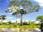 O Pantanal é a uma das maiores planícies inundáveis do mundo e abriga uma grande concentração de vida silvestre. Situado no coração da América do Sul, tem cerca de 160.000 Km², dos quais quase 90% pertencem ao Brasil, nos estados de Mato Grosso e Mato Grosso do Sul. O restante encontra-se na parte leste da Bolívia e nordeste do Paraguai.O rio Paraguai e seus afluentes percorrem o Pantanal, formando extensas áreas inundadas que servem de abrigo para muitos peixes e também para outros animais. Os ecossistemas são caracterizados por cerrados e cerradões sem alagamento periódico, campos inundáveis e ambientes aquáticos, como lagoas de água doce ou salobra, rios, vazantes e corixos. </br></br> Palavras-chave: Pantanal. Planícies. Rios. Ecossistemas. Cerrado. Campos. Bioma.